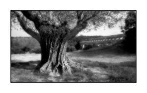 olivetree2.JPG